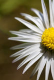 Daisy - Bellis perennis Royalty Free Stock Photography