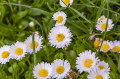 Daisy. Bellis perennis - White flower stock photo