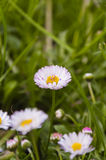Daisy. Bellis perennis - White flower stock photos