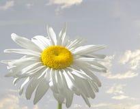daisy obraz stock
