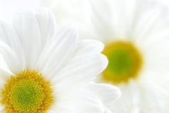 daisy białe zdjęcie stock