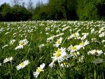 daisy białe Obrazy Stock