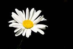 Daisy on black Royalty Free Stock Photos