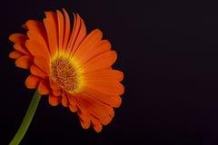 Daisy on black. Orange/red daisy on black background royalty free stock photos