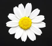 Daisy  on black Stock Image