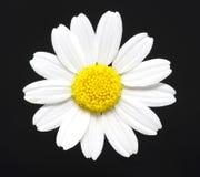 Daisy  on black Stock Image