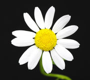 Daisy on black Royalty Free Stock Photo
