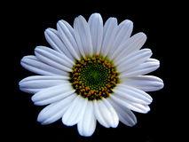 Daisy on black Stock Photography