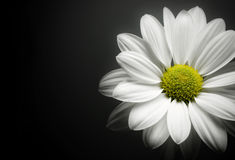 Daisy on black background. stock photography