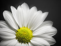 Daisy on black background. Stock Images