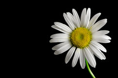 Daisy with Black Background Royalty Free Stock Photos