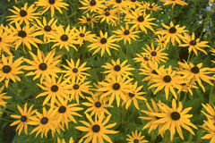 Daisy Black Eyed Susan. Stock Image