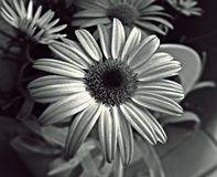 Daisy black and white color Royalty Free Stock Image