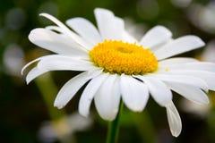 daisy, blisko zdjęcie royalty free