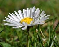 daisy, blisko obraz stock