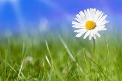Daisy bloeit alleen Stock Afbeeldingen