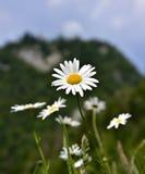 Daisy bloem Royalty-vrije Stock Afbeelding