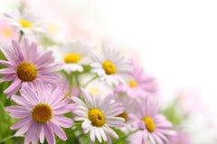 Daisy bloem Royalty-vrije Stock Foto's