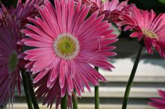 Daisy bloem in de tuin royalty-vrije stock afbeelding