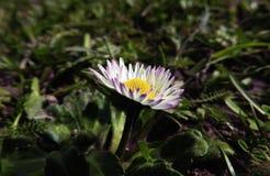 Daisy bloem macrofoto royalty-vrije stock afbeelding