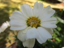 Daisy bloem met witte bloemblaadjes Stock Foto