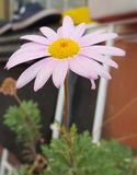Daisy bloem nam toe Royalty-vrije Stock Foto's