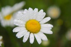 Daisy bloem onder regen Stock Afbeeldingen