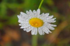 Daisy bloem onder regen Stock Afbeelding
