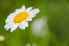 Daisy bloem onder regen Royalty-vrije Stock Fotografie