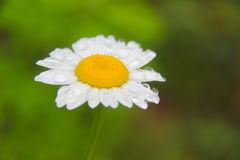 Daisy bloem onder regen Royalty-vrije Stock Afbeelding