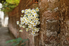 Daisy bloem op de muur Stock Foto's