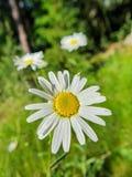 Daisy bloem op groene de zomerweide royalty-vrije stock foto