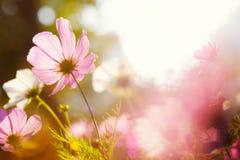 Daisy bloem tegen het zonlicht royalty-vrije stock foto's