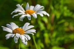 Daisy bloemclose-up Royalty-vrije Stock Foto