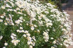 Daisy bloemen Royalty-vrije Stock Afbeeldingen