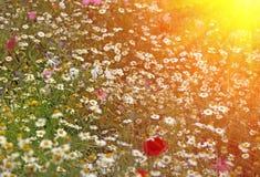 Daisy bloemen in de lente bij schemer Royalty-vrije Stock Afbeeldingen