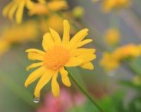 Daisy bloemen en regendruppel met bezinning Royalty-vrije Stock Afbeeldingen