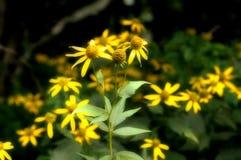 Daisy bloemen in groep Royalty-vrije Stock Fotografie