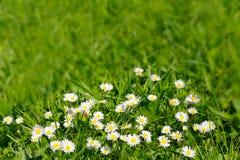 Daisy bloemen op de groene achtergrond van het grasgebied Royalty-vrije Stock Afbeeldingen