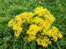 Daisy bloemen op de werf royalty-vrije stock foto