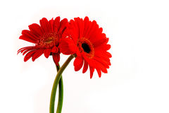Daisy bloemen op witte achtergrond Stock Fotografie