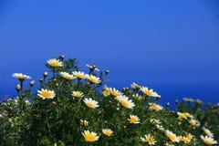 Daisy bloemen tegen blauwe achtergrond Stock Afbeeldingen