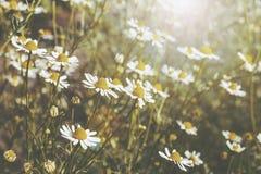 Daisy bloemenachtergrond met de gloed van de lenszon stock foto's