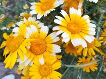 Daisy in bloom stock images