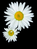 Daisy bloom isolated on black. Two daisy bloom isolated on black background Royalty Free Stock Image