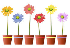 Daisy bloom pot. Colorful pots with daisies, isolated on white,  illustration Royalty Free Stock Image