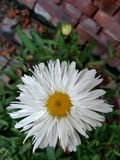 Daisy. Blooming during fall in Walled Lake, Michigan Stock Image