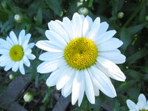 Daisy Blooming. This is a Daisy blooming in a flower garden up close as Macro style Royalty Free Stock Photos