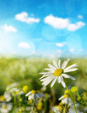 Daisy blooming in the meadow in sunny day. Stock Images