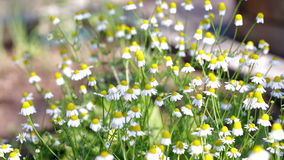 Daisy. Blooming wild daisy in the garden stock footage